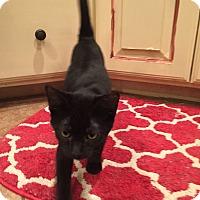 Adopt A Pet :: Toto - Bentonville, AR