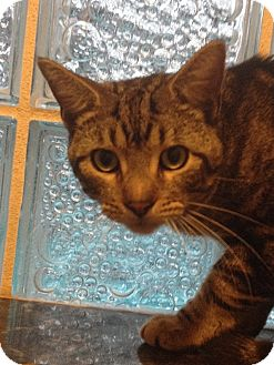 Domestic Shorthair Cat for adoption in Tampa, Florida - Mason