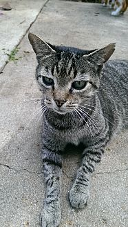 Domestic Shorthair Cat for adoption in Naples, Florida - Dharma