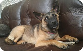 German Shepherd Dog Mix Dog for adoption in Goldsboro, North Carolina - Seraphina