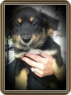 Australian Shepherd/Border Collie Mix Puppy for adoption in Richmond, California - Porsche