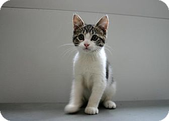 Domestic Shorthair Kitten for adoption in Flora, Illinois - Camille