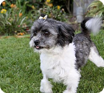 Shih Tzu/Maltese Mix Dog for adoption in Newport Beach, California - BRIA