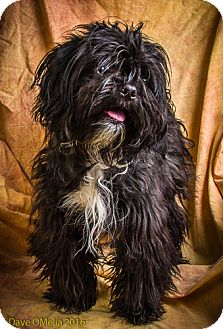 Shih Tzu Mix Dog for adoption in Anna, Illinois - DEXTER