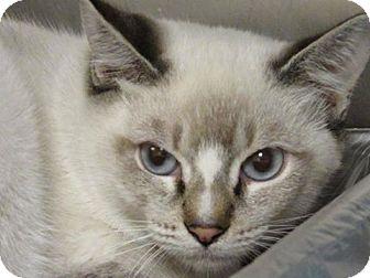 Siamese Cat for adoption in Windsor, Virginia - Playdough