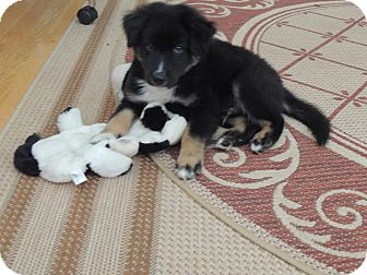 Australian Shepherd/Greater Swiss Mountain Dog Mix Puppy for adoption in Buford, Georgia - Jambu - $150.00
