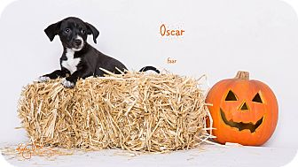 Rat Terrier/Pug Mix Puppy for adoption in Riverside, California - Oscar