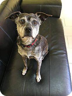 Boston Terrier/Terrier (Unknown Type, Medium) Mix Dog for adoption in Philadelphia, Pennsylvania - Susie