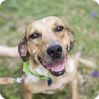 Coonhound Mix Dog for adoption in Houston, Texas - Sadie
