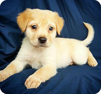 Golden Retriever/Labrador Retriever Mix Puppy for adoption in Fredericksburg, Texas - Alan