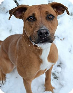 Boxer Mix Dog for adoption in Michigan City, Indiana - Juneau