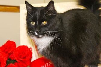 Domestic Longhair/Domestic Shorthair Mix Cat for adoption in Buffalo, Wyoming - Prince