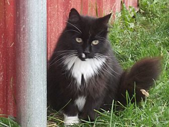Domestic Longhair Cat for adoption in Buffalo, Wyoming - Prince