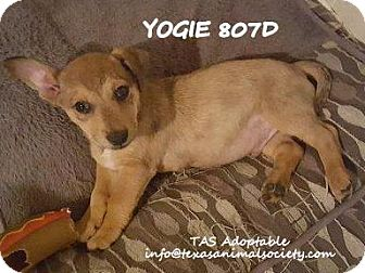 Chihuahua/Terrier (Unknown Type, Small) Mix Puppy for adoption in Spring, Texas - Yogie