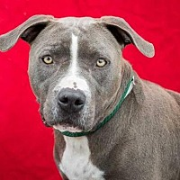 Pit Bull Terrier/American Staffordshire Terrier Mix Dog for adoption in Pasadena, California - SOFIE