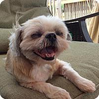 Adopt A Pet :: Sasha - San Antonio, TX
