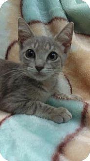 American Shorthair Kitten for adoption in Gulfport, Mississippi - Buster