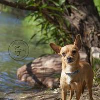 Adopt A Pet :: Alamo - Fort Collins, CO