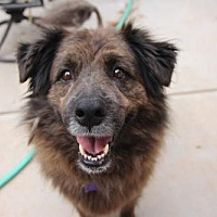 Newfoundland/Shepherd (Unknown Type) Mix Dog for adoption in Littleton, Colorado - Shrek