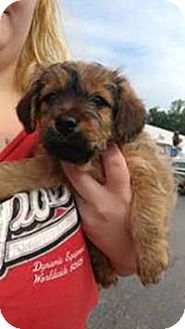 Chihuahua/Yorkie, Yorkshire Terrier Mix Puppy for adoption in Chantilly, Virginia - Yorkie Ralph