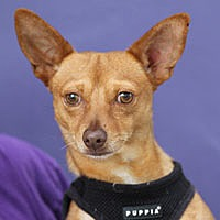 Chihuahua Mix Dog for adoption in Pacific Grove, California - Dixon