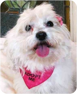 Maltese Dog for adoption in Irvine, California - Gracie
