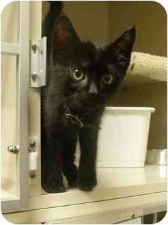 Domestic Shorthair Kitten for adoption in Morden, Manitoba - Ceasar