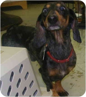 Dachshund Dog for adoption in Chattanooga, Tennessee - Male Dachshund