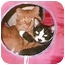 Photo 3 - Siamese Cat for adoption in Madison, Tennessee - Halle