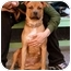 Photo 2 - American Staffordshire Terrier/Labrador Retriever Mix Dog for adoption in New York, New York - Roxie
