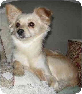 Chihuahua Mix Dog for adoption in San Diego, California - Blossom