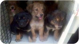 German Shepherd Dog/Golden Retriever Mix Puppy for adoption in East Hartland, Connecticut - Golden Girls