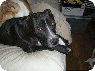 Pit Bull Terrier Mix Dog for adoption in Alliance, Nebraska - Chance