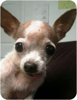 Chihuahua Dog for adoption in Lancaster, Kentucky - Cookie