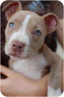 American Pit Bull Terrier Puppy for adoption in Mary Esther, Florida - Mona