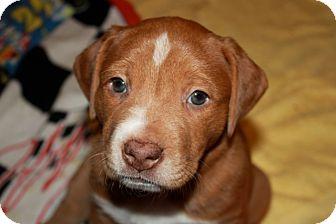 Labrador Retriever/Bulldog Mix Puppy for adoption in Homewood, Alabama - Minnie