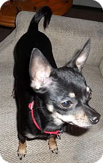 Chihuahua Mix Dog for adoption in San Diego, California - Gayle