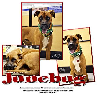 Boxer/Shepherd (Unknown Type) Mix Dog for adoption in Irving, Texas - Junebug