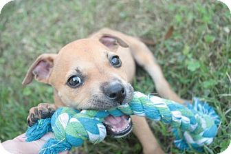 American Pit Bull Terrier Mix Puppy for adoption in Stilwell, Oklahoma - DJ