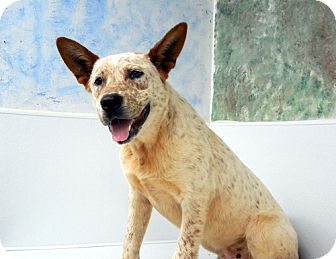 Australian Cattle Dog Dog for adoption in Sylva, North Carolina - Sampson