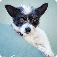 Adopt A Pet :: Foxy - Phoenix, AZ