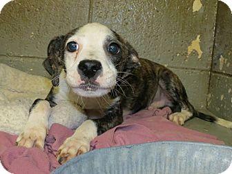 Labrador Retriever/Shepherd (Unknown Type) Mix Puppy for adoption in Hockessin, Delaware - Patrick