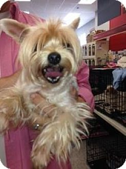 Yorkie, Yorkshire Terrier Mix Dog for adoption in Tucson, Arizona - Molly