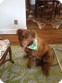 Newfoundland/Golden Retriever Mix Dog for adoption in HARRISBURG, Pennsylvania - SHERMAN