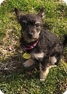 Chihuahua Mix Puppy for adoption in Woodlyn, Pennsylvania - Bretta