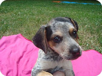 Australian Cattle Dog Mix Puppy for adoption in Old Bridge, New Jersey - Kate