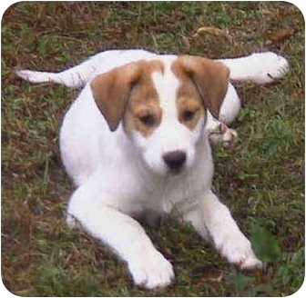 Australian Cattle Dog/Collie Mix Puppy for adoption in Buffalo, New York - Monique & Morgana