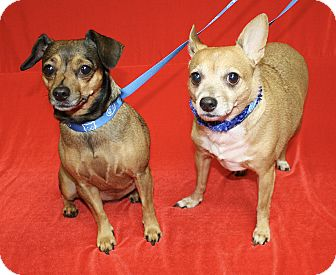 Chihuahua Mix Dog for adoption in Jackson, Michigan - Rosie and Poncho