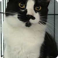 Domestic Longhair Cat for adoption in Yukon, Oklahoma - Dennis