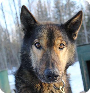 Husky Mix Dog for adoption in Jefferson, New Hampshire - Logger